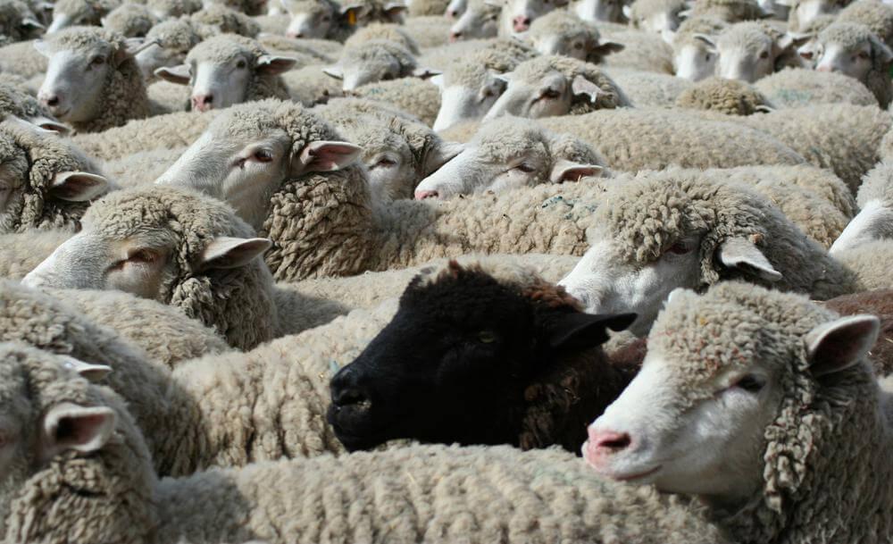 ovelha negra