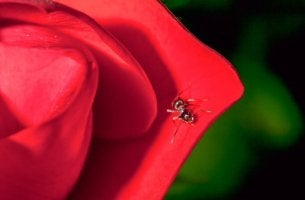 A rosa e o sapo