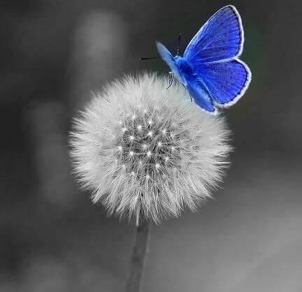 borboleta-dente-de-leao