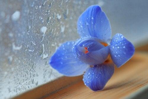 Flor azul ao lado de uma janela molhada pela chuva