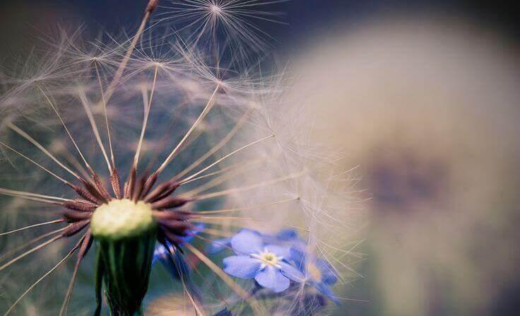 dente-de-leão-com-flor-azul