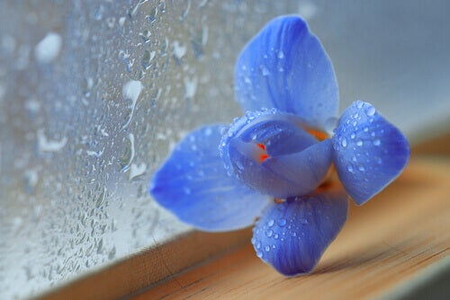 aroma-flor-azul
