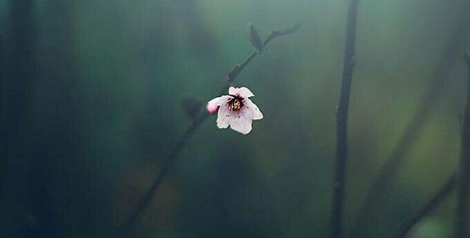 flor-solitaria