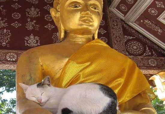 gatos-buda