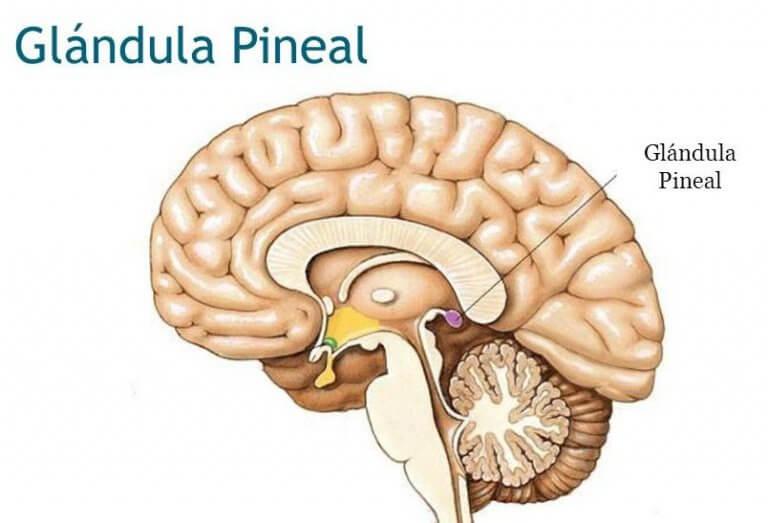 glândula-pineal
