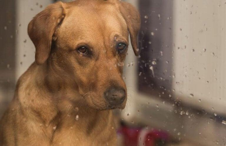 cachorro-olhando-pela-janela