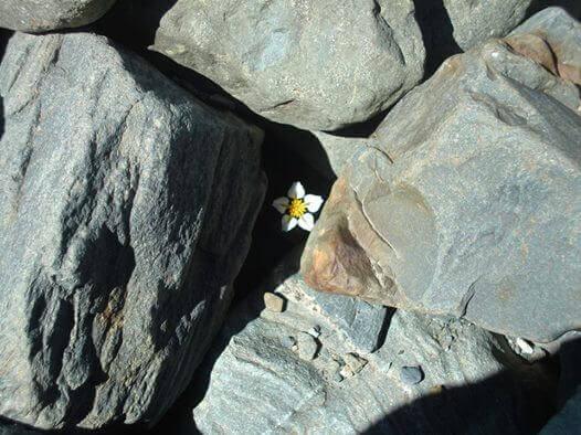 flor-pedras
