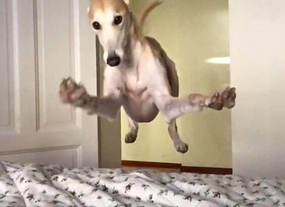 cachorro-pulando-na-cama