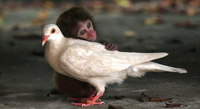 macaco-abracando-pomba
