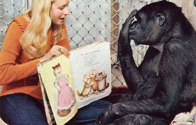 Koko, a gorila inteligente
