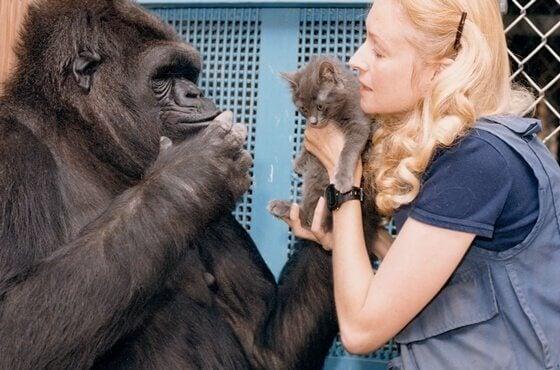 A história de Koko, a gorila mais inteligente do mundo