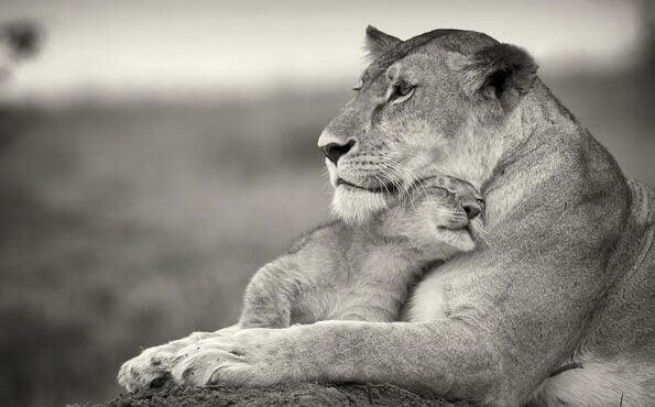 Leoa abraçando seu filhote