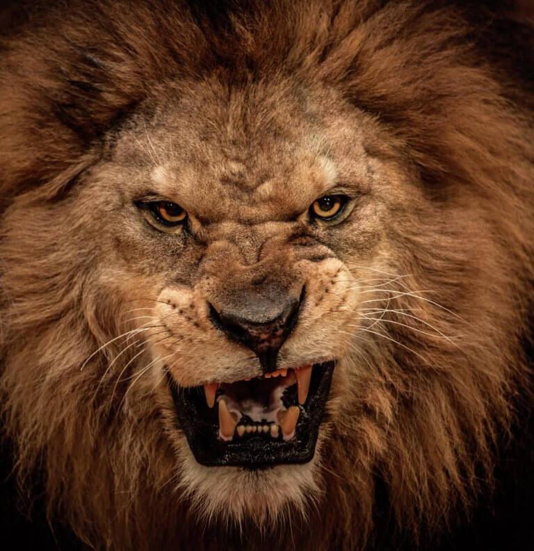 Leão representando vampiros emocionais