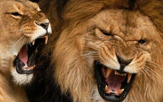 Leões bravos
