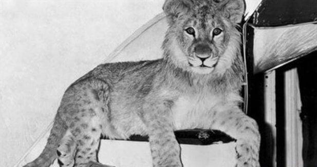 Christian, o leão, quando era filhote
