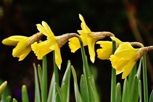 Narcisos amarelos
