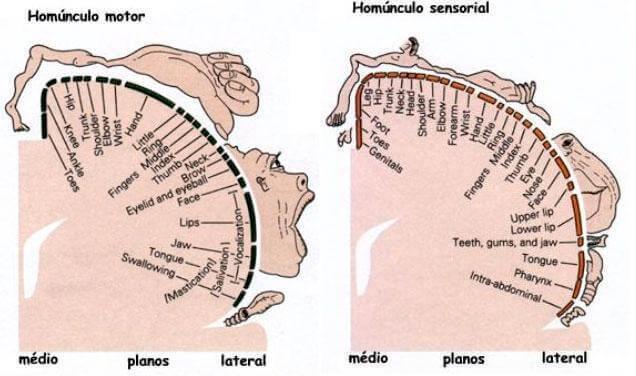 Estrutura do Homúnculo de Penfield