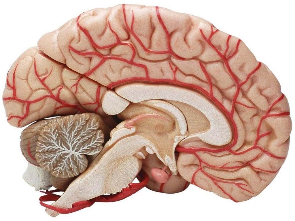 O cérebro humano