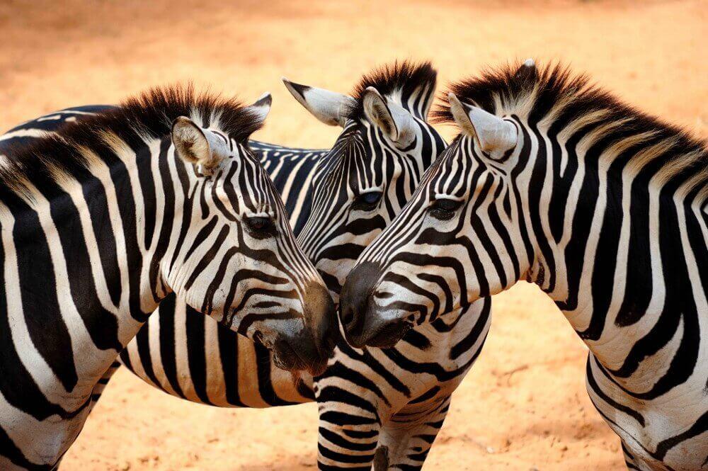 Zebras reunidas