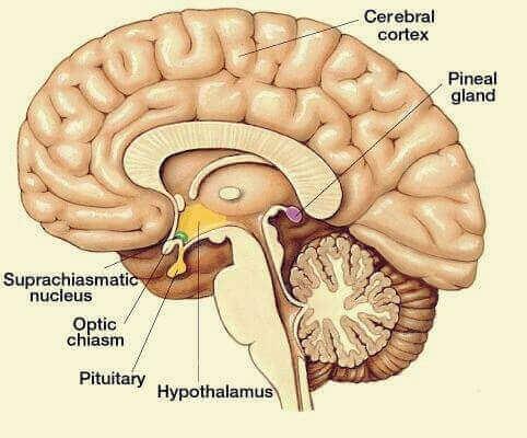 Estrutura do cérebro humano