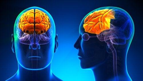 Cérebro com lobo frontal iluminado