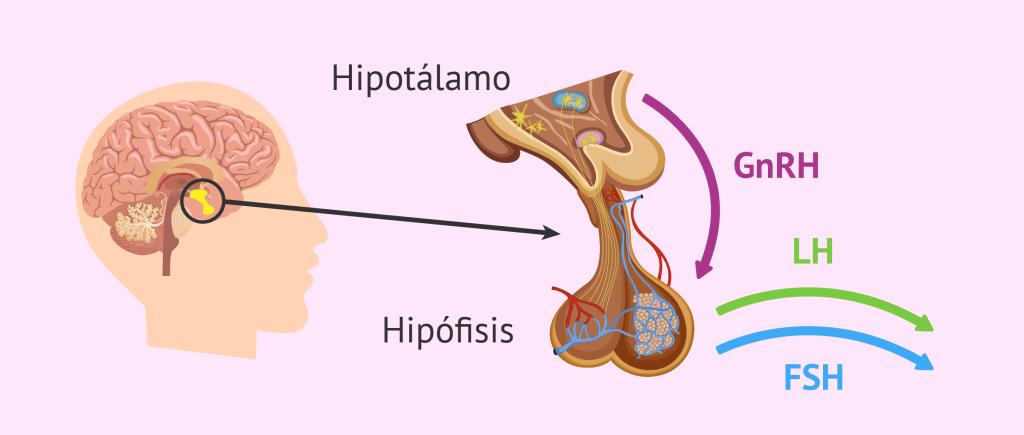 Hipotálamo e hipófise