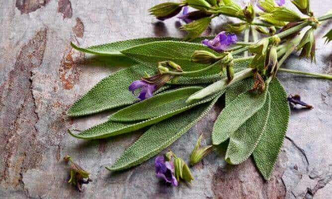Benefícios da sálvia, a planta da mulher