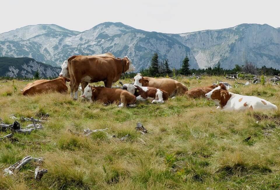 Vacas soltas em pasto