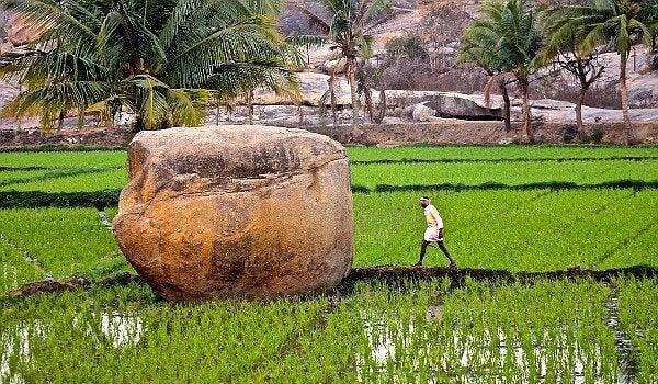 Homem caminhando em plantação de arroz