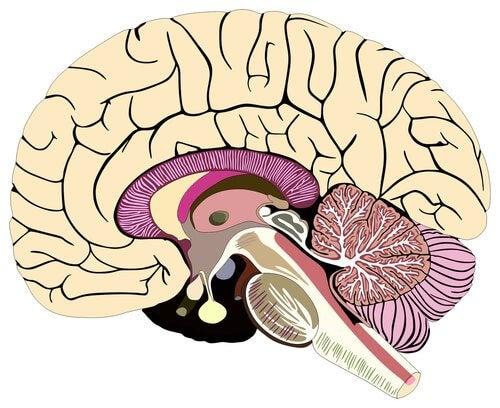 Regiões do cérebro