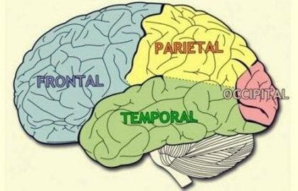 Lobos cerebrais: características e funções