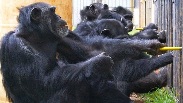 Experimento com chimpanzés