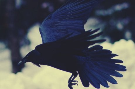 Corvo voando