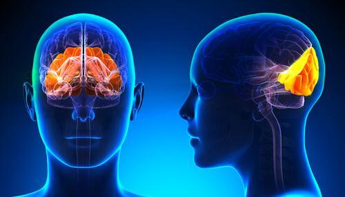 Lobo occipital: estrutura e funções