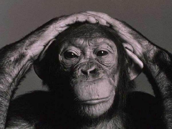 Chimpanzé pensativo