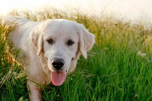 Labrador com a língua para fora