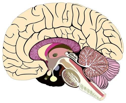 Estrutura cerebral