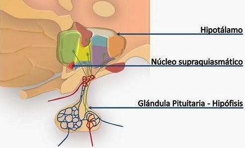 Núcleo supraquiasmático