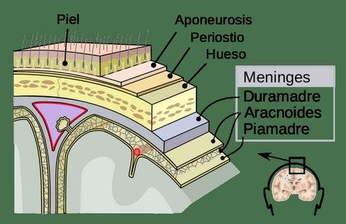 Representação das meninges