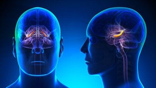 Hipocampo em destaque no cérebro