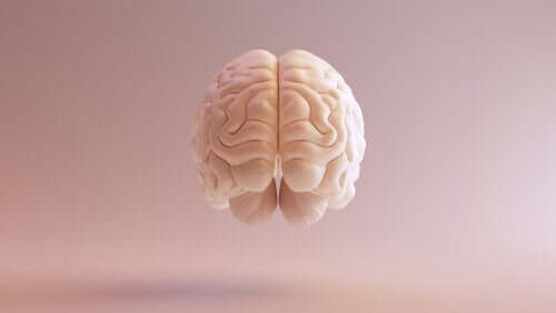 Telencéfalo: características e funções