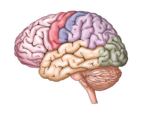 O telencéfalo no cérebro