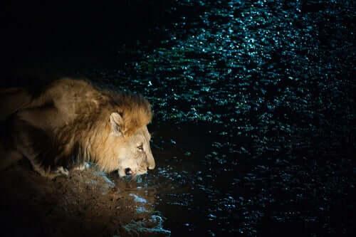 Leão bebendo água