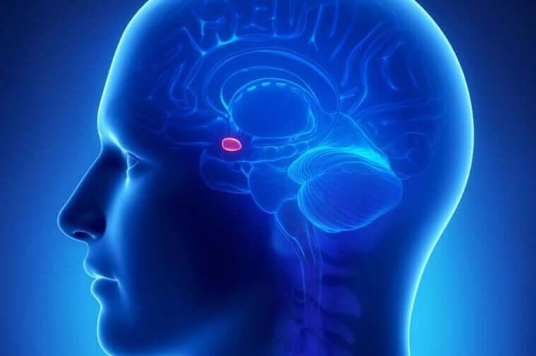 A amígdala cerebral