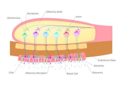 Quais são as funções do bulbo olfatório?