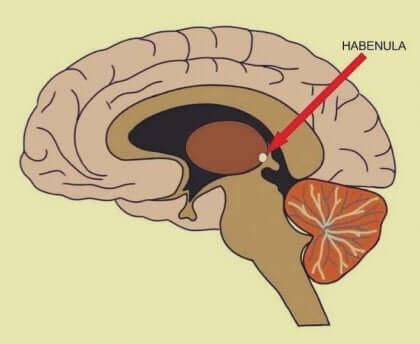Habênula cerebral