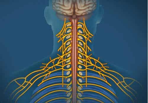 Sistema nervoso somático: características e funções