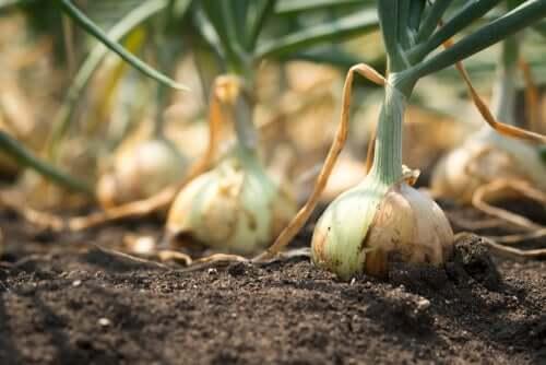 Plantação de cebolas
