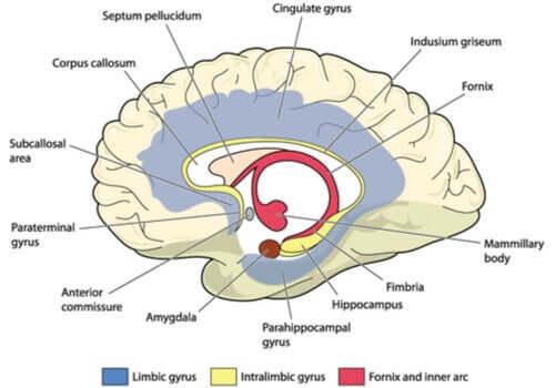 Sistema límbico do cérebro