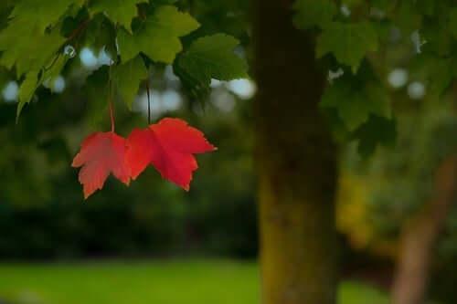 Folhas vermelhas em árvore verde